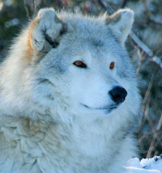 Wolf Face by mandykip