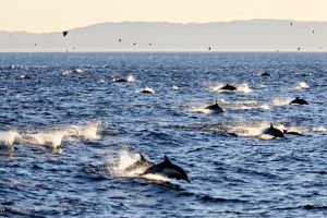 Common dolphins by paleypeach