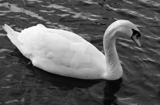 Swan by tdubic