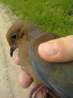 My Mourning Dove by blackeststar14