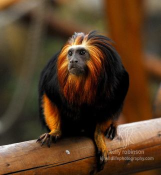 Golden Headed Lion Tamarin by Shadow-and-Flame-86