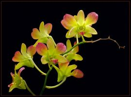 ORCHIDS 8 by THOM-B-FOTO