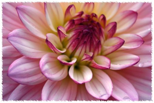 Pink Dahlia by lares923