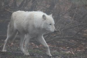Gray Wolf Stock 31: White Wolf in Fog by HOTNStock
