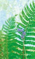 Bluebell and Ferns by Gerard1972