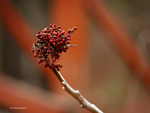 Red berries at the red bridge by Mogrianne