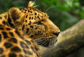 Amur Leopard by Shadow-and-Flame-86