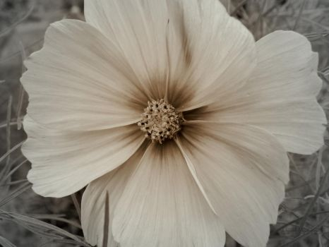 white flower by florina23
