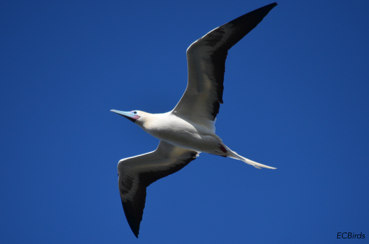 Red-footed Booby by clairestclara