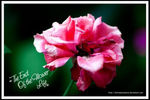 pink rose by Jimmasterpieces