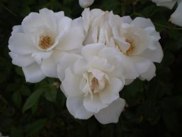 White roses II by Twister4evaSTOCK