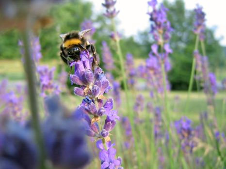 Bumblebee on Lavender by jvohome