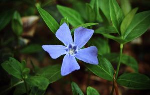 Periwinkle by mli93