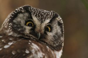 Boreal Owl 3 by wolfnipplechips