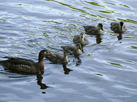 Woodducks 6 by Mogrianne