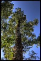 Tall Tree II by sharan