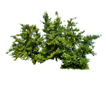 Bush PNG Stock 4 by Gilgamesh-Art-IQ