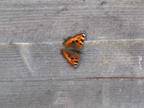 Small Tortoiseshell Butterfly on Fence 3 by Captain-Art-hero