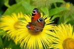 PEACOCK BUTTERFLY by major-holdups