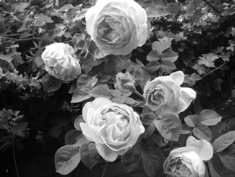 Dark roses by Holly-berry4