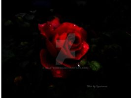 Rain drops on roses (droplet version) by Quatromini