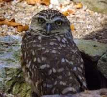 Little owl by AngelsSunset