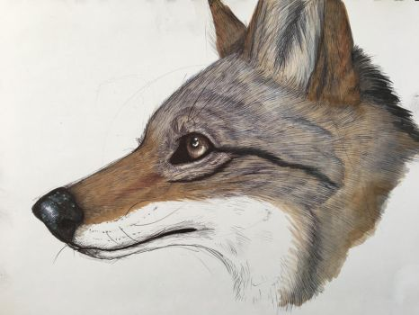 Coyote sketch by CasualCoyote