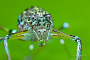 Katydid blowing bubbles by melvynyeo