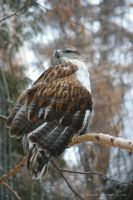 Ferruginous Hawk by ticoun