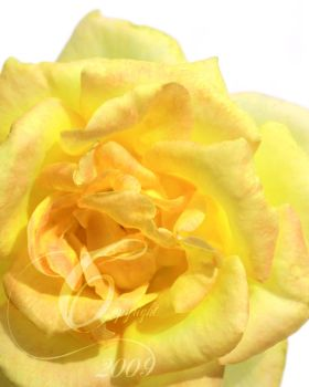 Yellow Rose by TheIcePixy