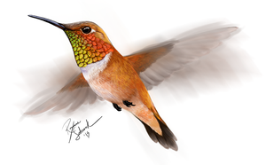 Rufous hummingbird drawing - photo#48