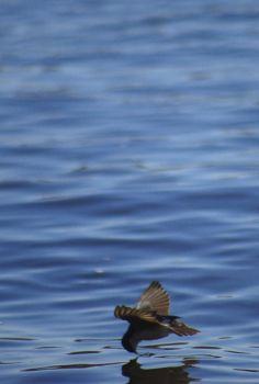 Diving Swallow by PS8