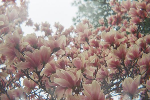 Magnolias by themongolianshemonk