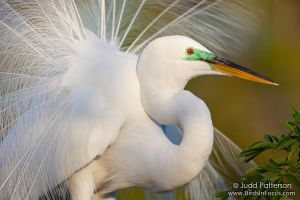 Great Egret by juddpatterson