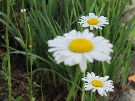 Daisies by littleride