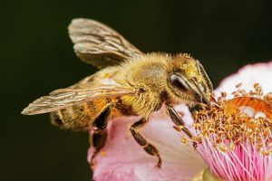 Honeybee Feeding on a Blackberry Flower III by dalantech