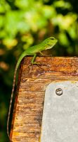 Green Crested Lizard by FU51ON
