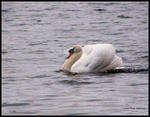 Male Swan in Display by Mogrianne