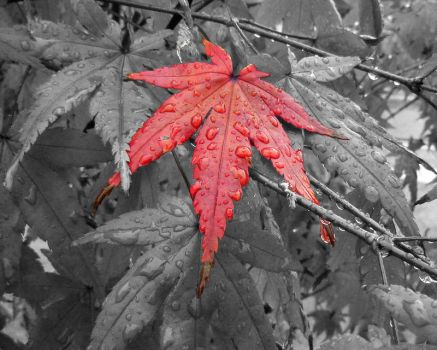 Red Acer by todaiii