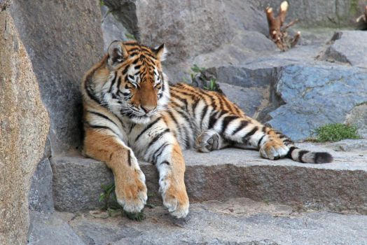 Young Siberian Tiger by BetaDraconis