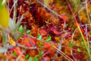 Drosera Flower by The-shivering-leaf