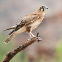 Brown Falcon by 88-Law