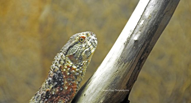 Chinese Alligator Lizard by MorrighanGW