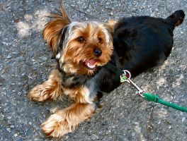 Little Yorkie Tibby by Soniafm1027