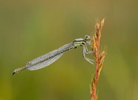 Wet dragonfly by norix