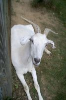 A Beautiful Goat by DeanNClark