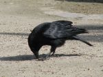 Bird 157 - eating crow by Momotte2stocks