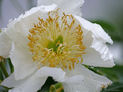 Peony in White by Mogrianne