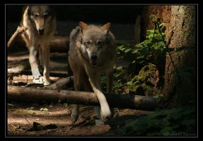 Brothers.... Grey wolves. by oOBrieOo
