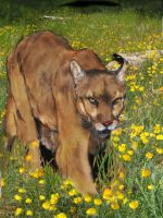 Mountain Lion by Panther10